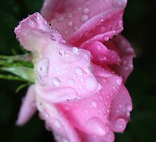 Rose to Victory - - over Breast Cancer by Cecilia Carr