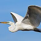 Great Egret Carries Stick by Kenneth Keifer