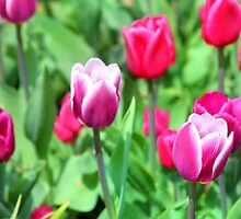 Purple Tulips by Paula Bielnicka