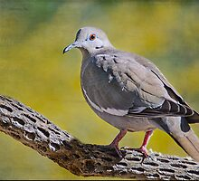 White-Winged Dove by Barbara Manis