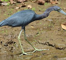 Little Blue Heron on the Beach by hummingbirds