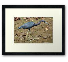 Little Blue Heron on the Beach Framed Print
