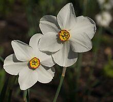 A Pair of Fragrant Poet's Daffodils, Celebrating Spring by Georgia Mizuleva