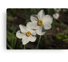 A Pair of Fragrant Poet's Daffodils, Celebrating Spring Canvas Print