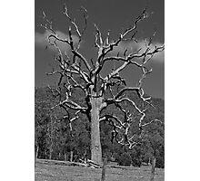 Dead Tre: Hunter Valley Photographic Print