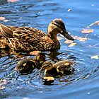 Mum and Baby Ducks......... by lynn carter