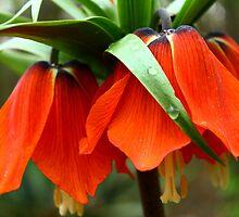Fritillaria imperialis by karina5