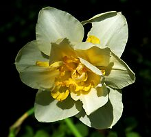 White and Yellow Daffodil by looneyatoms