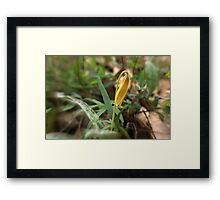 Trout Lily at Bull Run Framed Print