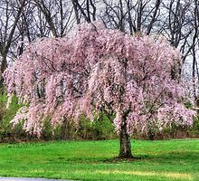 Weeping Cherry by James Brotherton