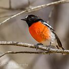 The Australian Scarlet Robin by Rick Playle