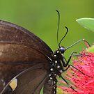 Black Swallowtail Portrait by Bob Hardy