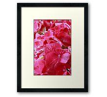 Hydrangea Macro Framed Print