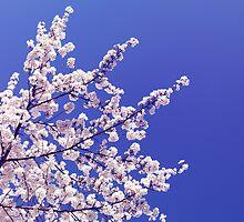 Cherry blossom over blue sky background art photo print by ArtNudePhotos