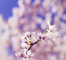 Blossoming cherry tree branch art photo print by ArtNudePhotos