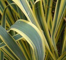 Ribbon Grass by Joan Wild
