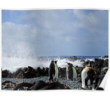 King Penguins - Macquarie Island Poster