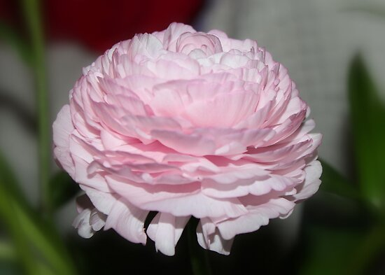 Pink Beauty - Ranuculus by AnnDixon
