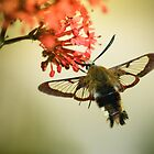 Bee Hawkmoth by jimmy hoffman