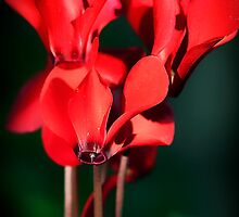 Standing Cyclamen by leifrogers
