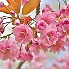 Sakura cherry-blossoms by flashcompact