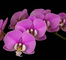 Orchids v1 by JMChown
