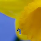 Daffodil Raindrop by DIANE  FIFIELD