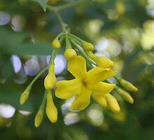 Close Up Of Carolina Jasmine by taiche