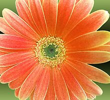 Gerbera Daisy by James Brotherton