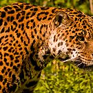 Jaguar (panthera onca) by Jay Lethbridge