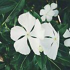White Flowers by tropicalsamuelv