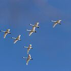 Flock Of Migrating Tundra Swans by Thomas Young