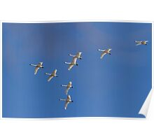 Flock Of Migrating Tundra Swans Poster