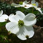 Dogwood Blossoms by WildestArt