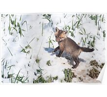 Fox kit in snow Poster