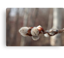 Pussy Willow, A sure sign of Spring Canvas Print