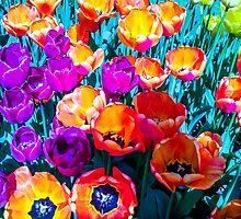 Skagit Tulip Festival by Peter Hancock