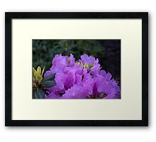 lovely spring purple azalea flowers. Framed Print