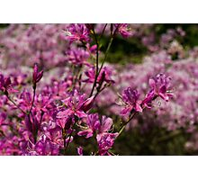 Japan Sakura - Rhododendron wadanum Photographic Print