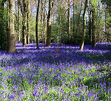Inside a Bluebell Wood by hootonles