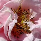 A double camellia in pink by sandysartstudio