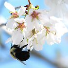 Bumble Bee In The Apple Blossoms by AngieDavies