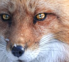 The Fox - Le Renard ..sans Le Corbeau  by John44