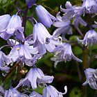 Don't be blue - Bluebell Flowers by mrsmcvitty