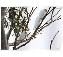 3 mates sit on a branch... Poster