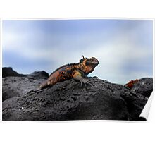 Colorful Marine Iguana In The Galapagos Poster