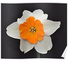 Daffodil Facing Front Poster