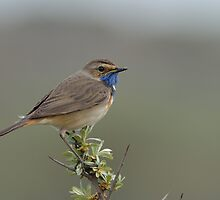 Bluethroat - II (Luscinia svecica) by Peter Wiggerman