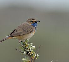 Bluethroat - II (Luscinia svecica) by Peter Wiggerman