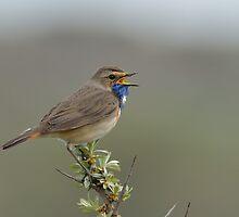 Bluethroat - III (Luscinia svecica) by Peter Wiggerman
